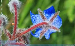 蓝色的琉璃苣清新护眼Win7主题